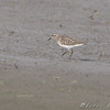 Least Sandpiper <br /> Clarence Cannon National Wildlife Refuge