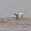 Least? and Semipalmated Sandpiper <br /> Clarence Cannon National Wildlife Refuge