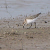 Semipalmated Sandpiper <br /> Clarence Cannon National Wildlife Refuge