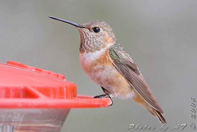 """Allen's Hummingbird <br /> (Immature male)  <br /> Fenton Missouri  <br /> Bird visited feeder of bander and was netted and measured then  <br />discovered to be an Allen's and not a Rufus. <br /> Band was added and you can see the last number on band is 9  <br /> <span style=""""color:red;"""">First Missouri Record</span>"""