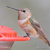 2008-12-01 Allen's Hummingbird :     Allen's Hummingbird Fenton Missouri  First Missouri Record  Banders measurements and photos here    Jump to >>  2007 Dec •  Jan-Feb •  March •  April •  May •  June •  July  August •  September •  October •  November •  December •  2009 Jan       Click on main photo below for larger version