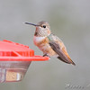 Allen's Hummingbird <br /> (Immature male) <br /> Fenton Missouri <br /> First Missouri Record