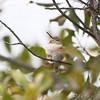 Snoozin' <br /> Allen's Hummingbird <br /> (Immature male) <br /> Fenton Missouri <br /> First Missouri Record