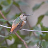Allen's Hummingbird <br /> (Immature male) <br /> Fenton Missouri <br /> *** 1st Missouri record ***
