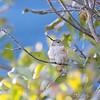 Allen's Hummingbird <br /> (Immature male) <br /> Fenton Missouri