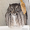 Eastern Screech Owl <br /> Sugar Creek Nursery <br /> Kirkwood, Mo.