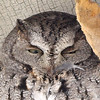 Eastern Screech Owl <br /> (left over lunch?)<br /> Sugar Creek Nursery <br /> Kirkwood, Mo. <br /> <br /> No. 223 on my Lifetime List of Bird Species <br /> Photographed in Missouri