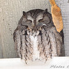 Eastern Screech Owl <br /> Sugar Creek Nursery <br /> Kirkwood, Mo.
