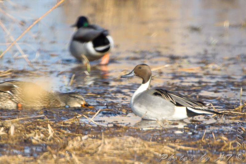 Northern Pintail and Mallard <br /> Riverlands Migratory Bird Sanctuary