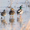 Northern Pintail and Mallards <br /> Riverlands Migratory Bird Sanctuary