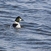 Common Goldeneye  <br /> Riverlands Migratory Bird Sanctuary