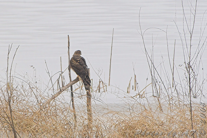 Northern Harrier <br /> Heron Pond <br /> Riverlands Migratory Bird Sanctuary