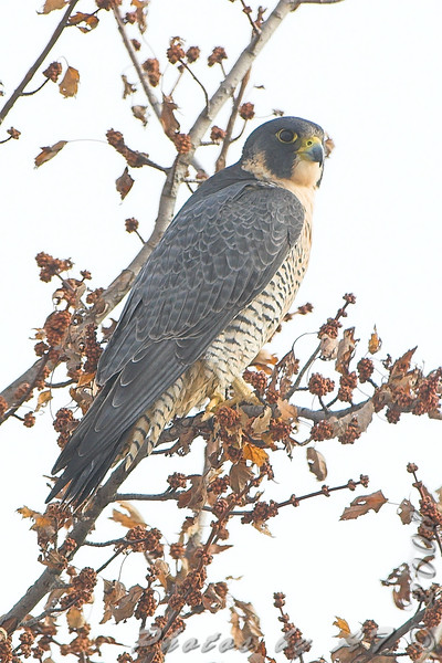 Peregrine Falcon <br /> Intersection of Red School and <br /> Cora Island Roads just south of <br /> Riverlands Migratory Bird Sanctuary