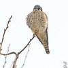 American Kestrel <br /> Cora Island Road <br /> just south of <br /> Riverlands Migratory Bird Sanctuary