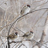 Eurasian Tree Sparrows <br /> Red School Road just south of <br /> Riverlands Migratory Bird Sanctuary