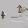 Male and Female Canvasback <br /> Riverlands Migratory Bird Sanctuary
