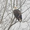Bald Eagle <br /> Riverlands Migratory Bird Sanctuary