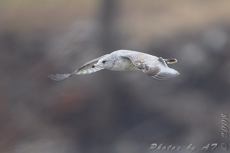 Ring-billed Gull <br /> Hide A Way Harbor