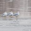 Ringed-billed Gulls <br /> Riverlands Migratory Bird Sanctuary