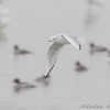 Bonaparte's Gull <br /> Riverlands Migratory Bird Sanctuary