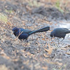Great-tailed Grackle <br /> Seeberger, Church, and Dwyer roads