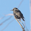 European Starling <br /> Behind church at intersection of McKelvey and Creve Coeur Mill roads