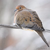 Mourning Dove <br /> Bridgeton, MO <br /> 2008-12-16
