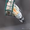 Red-bellied Woodpecker  <br /> Bridgeton, MO <br /> 2008-12-14