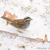 White-throated Sparrow <br /> Bridgeton, MO <br /> 2008-12-15
