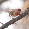 House Finch <br /> Bridgeton, MO <br /> 2008-12-15