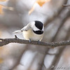 Carolina Chickadee <br /> Bridgeton, MO <br /> 2008-12-15