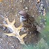 Eurasian Tree Sparrow <br /> City of Bridgeton <br /> St. Louis County, Missouri <br /> 2008-12-23