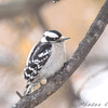 Downy Woodpecker  <br /> Bridgeton, MO <br /> 2008-12-15
