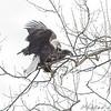 "Bald Eagles - ""Move over Juvie""<br /> Riverlands Migratory Bird Sanctuary"