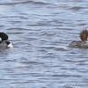 Common Merganser<br /> Riverlands Migratory Bird Sanctuary