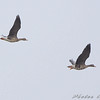 Greater White-fronted Geese<br /> Riverlands Migratory Bird Sanctuary