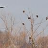 Bald Eagles<br /> Riverlands Migratory Bird Sanctuary