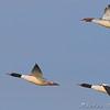 Common Mergansers<br /> Riverlands Migratory Bird Sanctuary