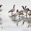 Cackling Geese and Canada Geese <br /> Riverlands Migratory Bird Sanctuary <br /> <br /> Cackling Geese is No. 183 on my Lifetime <br /> List of Bird Species Photographed in Missouri