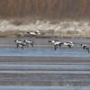 Common Merganser and Common Goldeneye<br /> Riverlands Migratory Bird Sanctuary