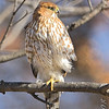 Cooper's hawk<br /> City of Bridgeton <br /> St. Louis County, Missouri <br /> 2008-01-02