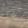 The sly Red Fox. Will someday get a better photo.<br /> Not quite in yard but not far away. <br /> Gist Road, Bridgeton, Mo.