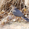 Cooper's hawk<br /> City of Bridgeton <br /> St. Louis County, Missouri <br /> 2008-01-15