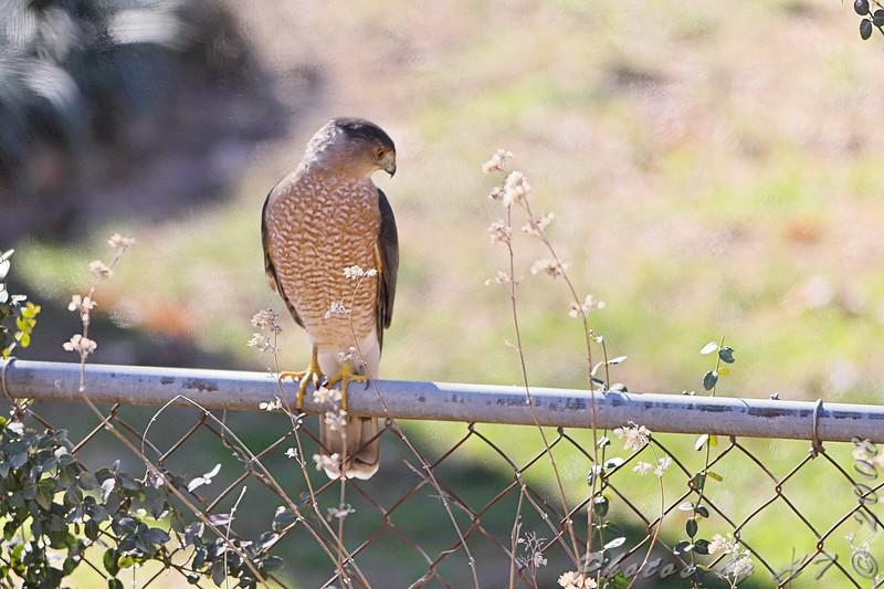 Cooper's hawk<br /> Bridgeton, Mo.