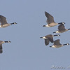 Canada Geese<br /> Riverlands Migratory Bird Sanctuary