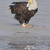 Bald Eagle<br /> Riverlands Migratory Bird Sanctuary
