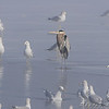 Great Blue Heron<br /> Riverlands Migratory Bird Sanctuary