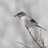 Northern Shrike<br /> Whetstone Creek Conservation Area<br /> In strong head wind, notice sprayed feathers.