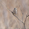 Northern Shrike<br /> Whetstone Creek Conservation Area <br /> <br /> No. 184 on my Lifetime List of Birds <br /> Photographed in Missouri