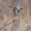 Northern Shrike<br /> Whetstone Creek Conservation Area